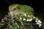絶滅に瀕した世界一重いオウム・カカポの最新情報はここで分かる!