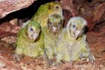 ヒナなんと77羽! 2019年カカポの大繁殖、その記録を総まとめ